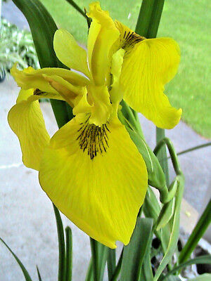 15 Majestic Yellow Flag Iris Seeds POND SIDE PLANT Iris psuedocorus