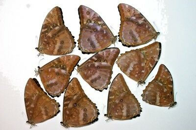 10 Morpho telemacus in A1 condition
