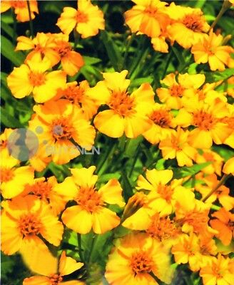 French marigold fragrance Herb Flower seed 50 seeds Tagetes patula balcony yard