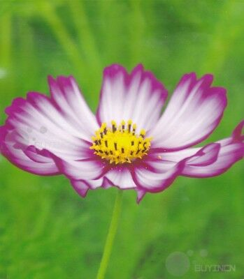 common cosmos 50 seeds Flower seed Cosmos bipinnatus garden yard patio balcony