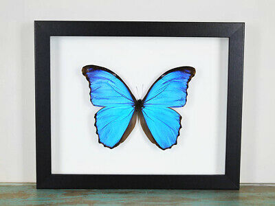 Blue Morpho Butterfly in a Frame
