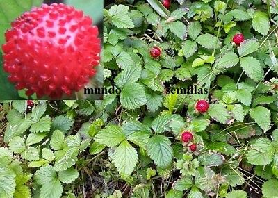 Potentilla indica - Fresa india - 130 semillas  seeds - Mock Strawberry