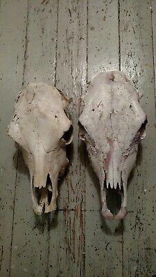 2 Big Real Cow Skull Taxidermy Naturally Bleached, Bull Skull Craft Landscaping