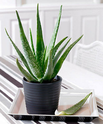 100PCS Aloe Seeds Aloe Vera Assorted Bonsai Air Plant Garden Cheap Flower Seeds