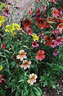 200 PAINTED TONGUE MIXED COLORS Velvet Trumpet Salpiglossis Seeds Comb S/H