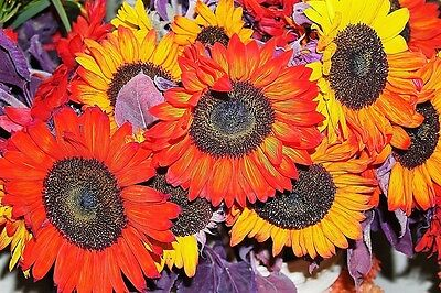 100 AUTUMN BEAUTY SUNFLOWER MIX Helianthus Annuus Seeds