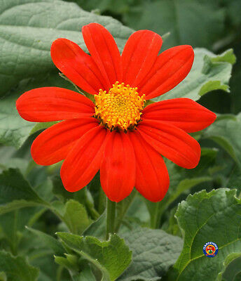 200 Mexican Sunflower Tithonia Rotundifolia Flower Seeds