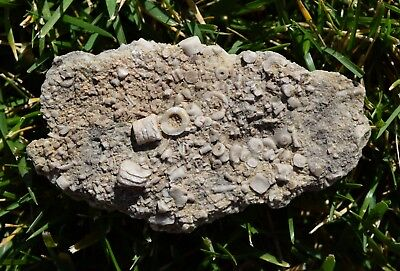 Fossil Crinoids Limestone Plate Matrix Arkansas Over 323 Million Years Old!