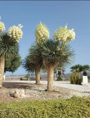 Yucca Rostrata - spectaculaire bloom - 20 graines frescas