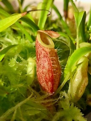 Nepenthes glabrata! Very red clone!