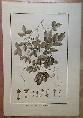 PLANT OF CHILI 1797 LA PEROUSE LARGE ANTIQUE ENGRAVED PLATE XVIIIe CENTURY