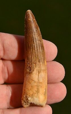 Spinosaurus tooth 3.1 inches from Morocco