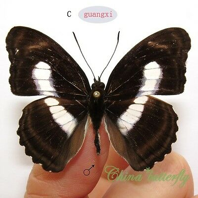 collection unmounted butterfly nymphalidae Athyma zeroca GUANGXI A1- #C