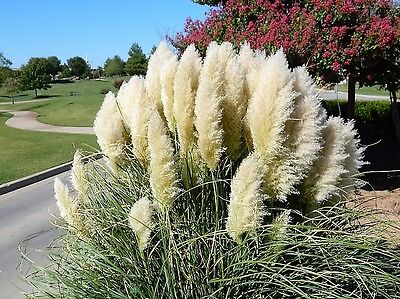 200 WHITE PAMPAS GRASS Cortaderia Selloana Ornamental Flower Seeds *Combnd Ship