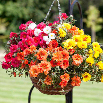 Portulaca Grandiflora Double Mix - Moss Rose - 3500 Finest Seeds