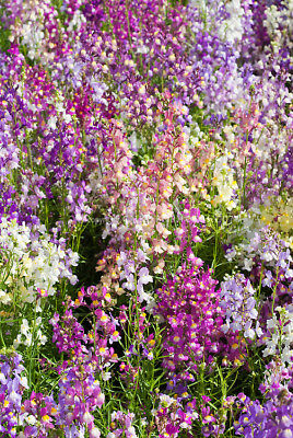 Toadflax - Fairy Bouquet - 15,000 Finest Seeds -  Linaria Maroccana