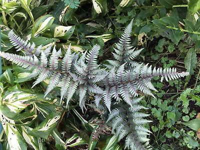 250 Japanese Painted Fern Spores/Seeds