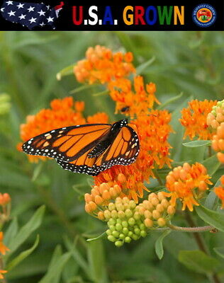 50 Butterfly Milkweed Seeds Asclepias tuberosa Native Perennial for Monarchs