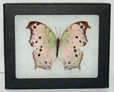 "Real Framed Butterfly` Salamis Parhassus ""Forest Mother of Pearl"" in Riker Mount"