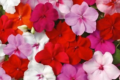 Busy Lizzie - Baby Series Mix - 220 Seeds - Impatiens Walleriana - Top Flowering