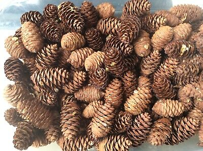 Spruce Pine Cones  just Over 1kilo, Crafts, Wreaths, Christmas