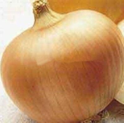 100 Giant Onion Yellow Sweet Spanish seeds vegetable seed germination 95%, Giant