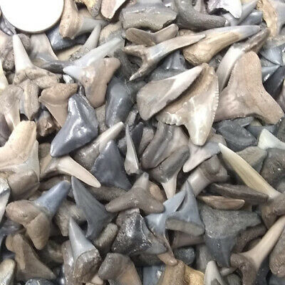 "BEST VALUE! Bulk 8 oz of Fossilized Shark Teeth 1/4""-3/4""  + More"
