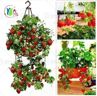 300 Climbing Red Strawberry Seeds very big and delicious ,Heirloom Vegetables an