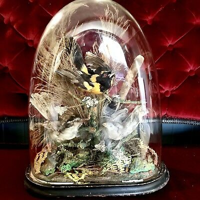 Antique Victorian Triple Bird Taxidermy Display In Glass Dome