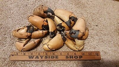12 Real Large Crab Claws