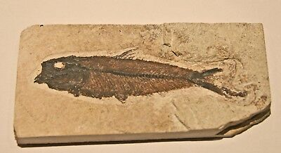 Fossil Fish, Knightia eocaena 5.5 inches, GRF, Kemmerer,  Wyoming, U.S.A.#1