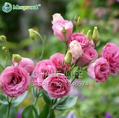 100PCS Red UK Eustoma Seeds Perennial Flowering Plants Lisianthus Multicolor for