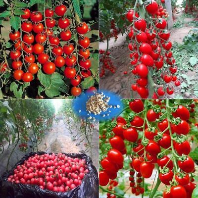 200 pcs/bag cherry tomato tree seeds Organic Heirloom vegetable fruit seed sweet