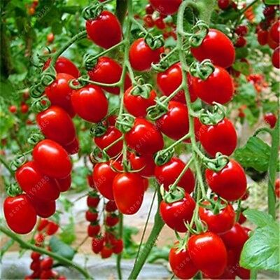 200 pcs/bag Milk red tomato cherry tomatoes seeds organic fruit and vegetable ou