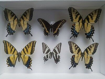 Collection Real Swallowtail Butterflies Pinned Lepidoptera