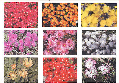 13 All Different PIGFACE PLANTS. EXPRESS POST. Stunning when in FLOWER pig face