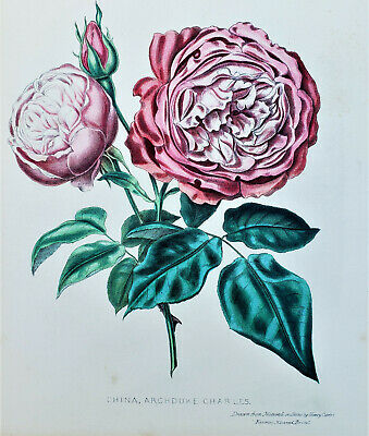 HENRY CURTIS Original 1850 VICTORIAN BOTANICAL LITHOGRAPH Framed ROSE #1 RARE