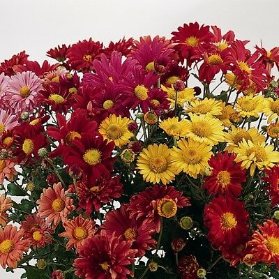 Chrysanthemum - Korean Glorious Mixture - 200 Seeds