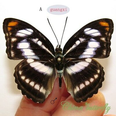 5 PCS unmounted butterfly Nymphalidae Athyma nefte GUANGXI CHINA  #A   A1  A1-