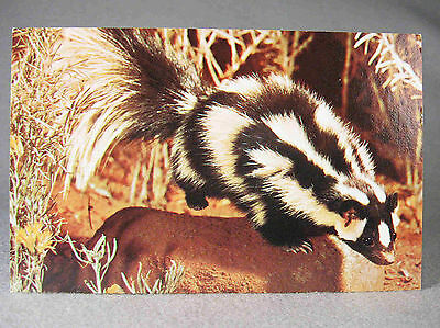 Spotted Skunk photographic postcard, by Nature Press & photo by Bill Ratcliffe