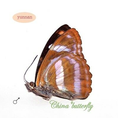 5 unmounted butterfly nymphalidae athyma cama #x34 A1-  A-