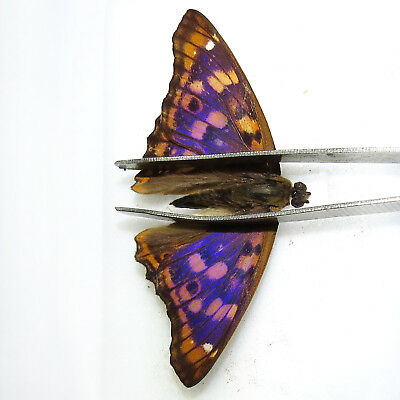 50 pcs collection unmounted butterfly nymphalidae apatura metis CHINA #1A