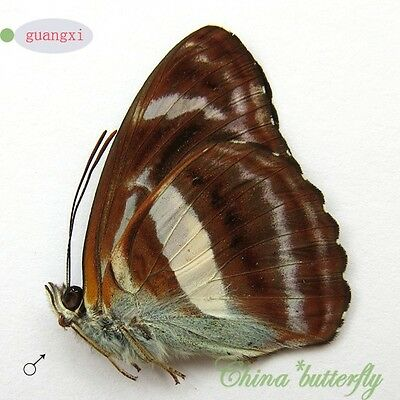 2 unmounted butterfly nymphalidae Athyma zeroca spring form GUANGXI A1 #G13