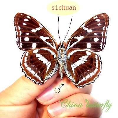 5 unmounted butterfly Nymphalidae Athyma recurva A1 A1-