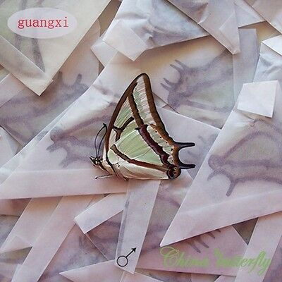 WHOLESALE 50 unmounted butterfly polyura narcaea A1 A1- material artwork CHINA