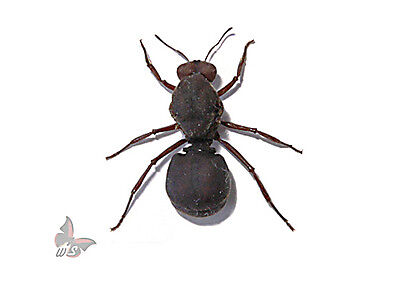 Atta sexdens(?)- GIANT ant,Unmounted ant