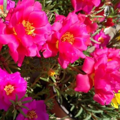 Moss Rose Double Portulaca Grandiflora mix color 100 Seeds Garden Plant