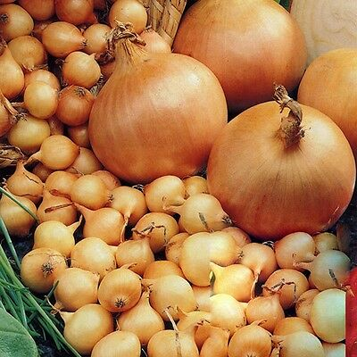 Onion Sets - Stuttgarter - 1/4 Kilo  (Size 14/21 ~ Approx 70 - 110 Sets)