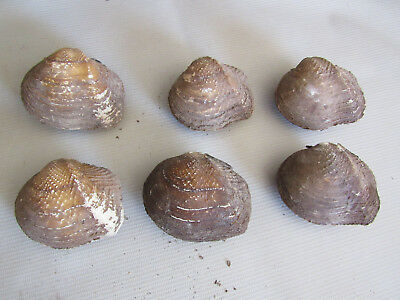 Lot Set of 6 Whole Matched Mother of Pearl Freshwater Mussel Shell Amber Ridge