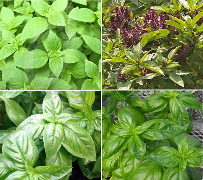 400 Culinary Herb Basil Seeds Garden Collection Lemon, Thai, Genovese & More